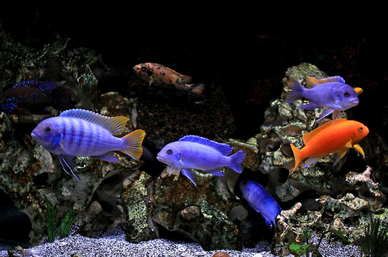 The Requirements For Keeping Cichlids