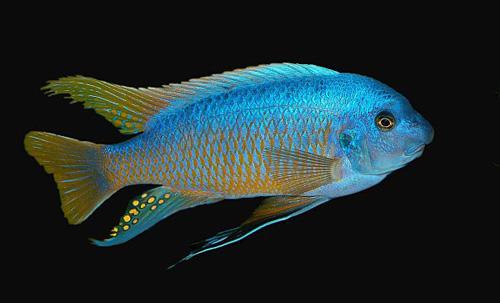 Lake malawi cichlid profiles the mbunas for Lake malawi fish