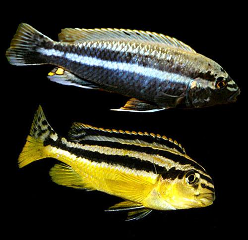 Auratus Cichlid : Melanochromis auratus ? Auratus, Malawi Golden Cichlid